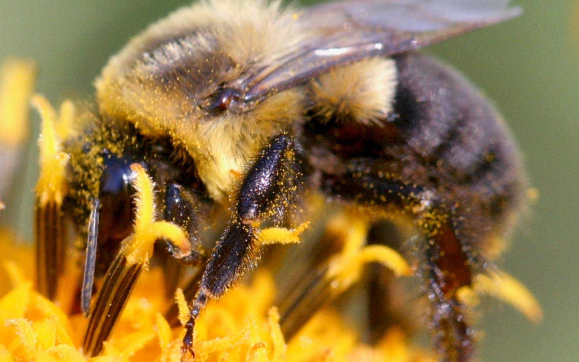 pčela sabiračica