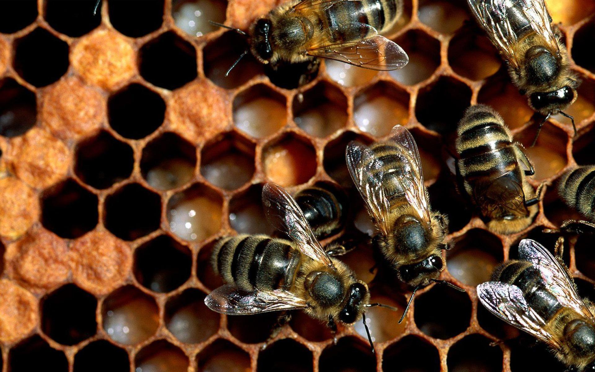 pčele kućanice na saćama